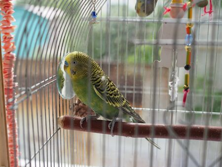 Green budgerigar parrot close up sits on cage near the mirror. Cute green budgie Imagens