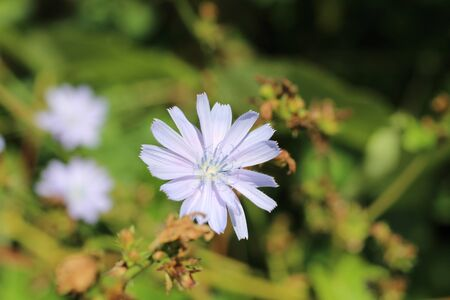 flower of chicory in the meadow waving by the wind. SUNNY DAY.