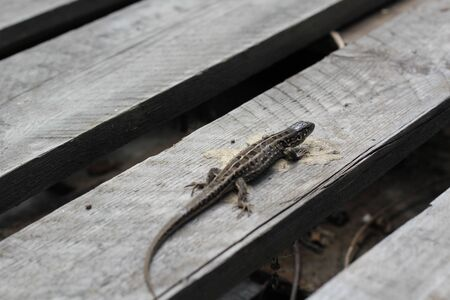 grey lizard sits on a grey wooden pallet. sample of mimicry. Stockfoto