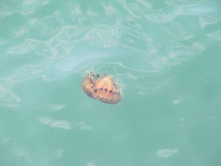 unusual jellyfish swims in the Adriatic sea