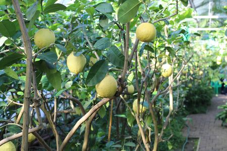 large yellow lemon fruit hanging on a branch against the background of abundant green foliage in lemonade