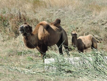 Brown female trampler with white cubs.Two-bumped camels. Stock fotó