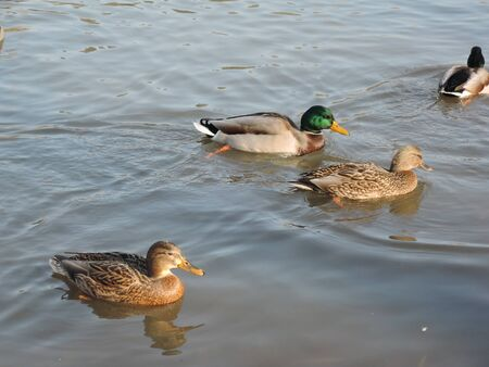 Ducks swimming in a pond at a park.