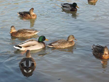 Ducks swimming in a pond at a autumn park. Wild ducks, drake, bird, wild bird, small bird, duck on the lake.