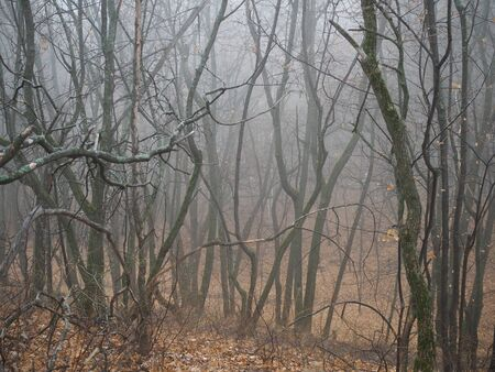 curved branches of trees in a misty autumn forest Reklamní fotografie
