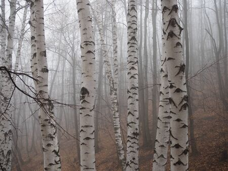 Birch forest in fog. Autumn view. Focus in foreground tree trunk .