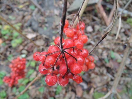 bunches of red viburnum close up on a branch on a cloudy autumn day .