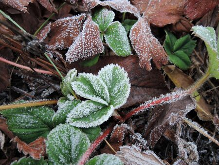 Green strawberry leaves covered with ice crystals, frost on the plants, freeze close-up. Stockfoto