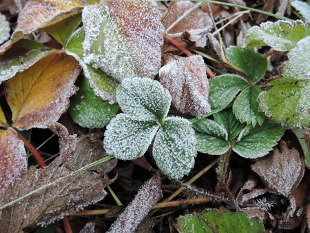 Green strawberry leaves covered with ice crystals, frost on the plants, freeze close-up Stockfoto