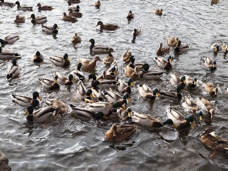 hungry wild ducks fight for food in crowd at lake.