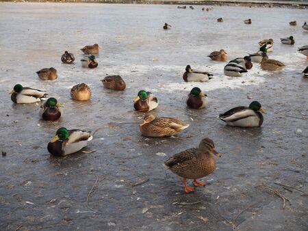 Ducks on winter ice river. Winter river ice snow ducks. Ducks on frozen river.