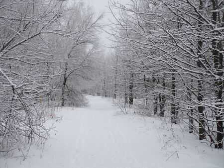 Path in the mixed winter park. Landscape. mixed forest of birch and pine covered with snow in winter. Stockfoto