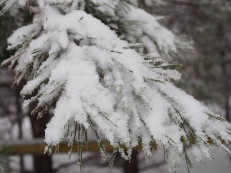 Christmas fir trees with fresh natural snow, snowstorm . Stockfoto