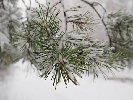 Christmas fir trees with fresh natural snow, snowstorm. Stockfoto