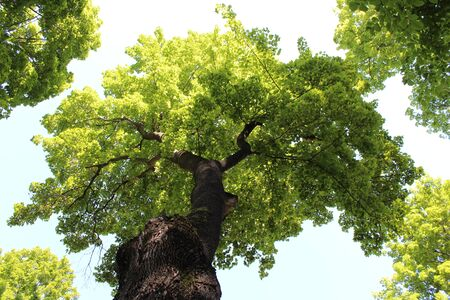 Maple tree with lush green leaves on a sunny day from below in a blue sky background.