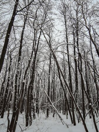 Deciduous forest in winter - bare tree branches covered with snow.