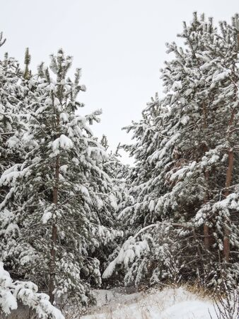 Winter trees in mountains covered with fresh snow. Stockfoto
