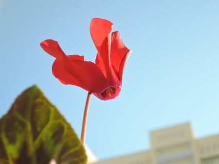 red cyclamen flower growing on the windowsill against the blue sky.