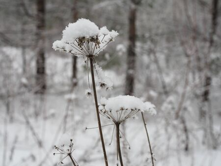 snow lies like a white cap on a plant in the form of an umbrella similar to dill. Stockfoto