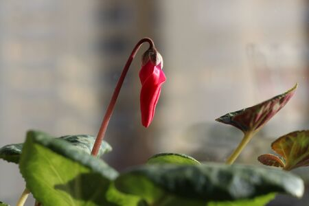 Opening bud of Cyclamen. Blurred. Imagens