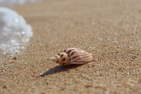 Sea striped seashell on a sandy clean smooth beach on a Sunny day.