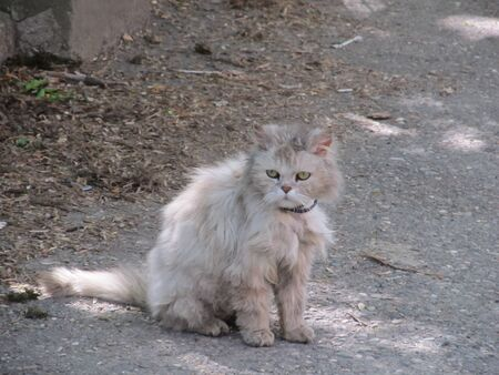 gray shaggy sad persian cat on street.