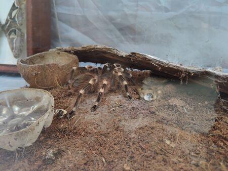 Tarantula Spider Arachnida Exotic Pets