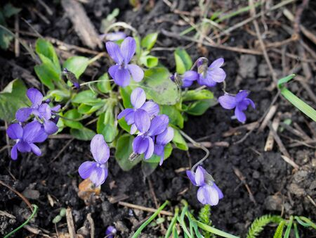 purple forest violet in early spring. many violets violets macro photo