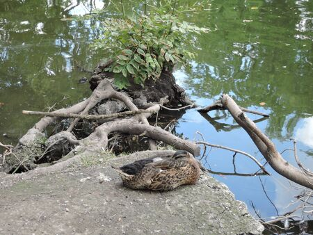 Duck sleeps sitting on a snag in the pond. Female duck sitting on a log in the lake Banque d'images