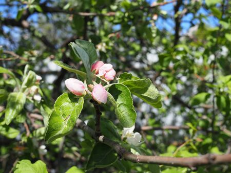 Buds of flowers on a branch in the spring, Apple tree