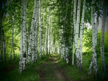 Young birch forest background with a trail. Young birch forest background with a trail. path in the green forest.