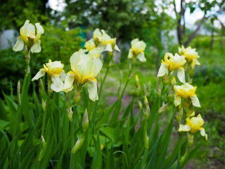 Close up of the beautiful yellow irises. Фото со стока