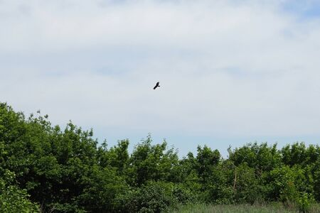 Bald eagle looking and flying straight toward the camera, against trees and a blue sky 写真素材