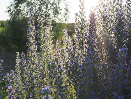 Meadow with blue flowers of the blueweed . Viper's Bugloss, Blueweed, Echium vulgare.