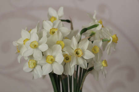 Nice white daffodil in bright blurry background in early spring, maltese daffodil, narcis, blossom daffodils.