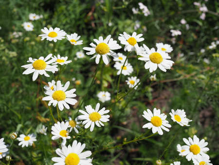 A beautiful daisies field in spring light.