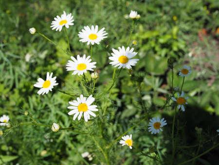 Daisy flower on green meadow selective DOF .