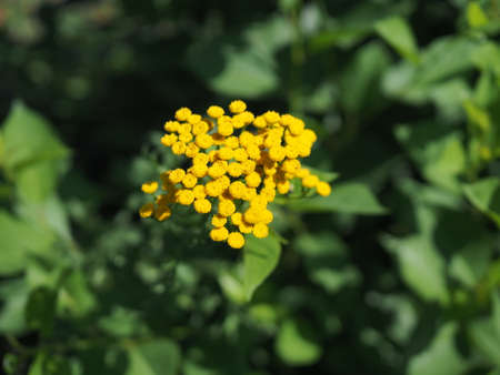 Yellow flowers of common tansy, Tanacetum vulgare.