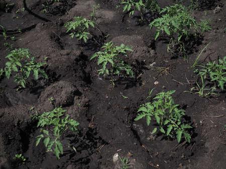 tomato plant in farm on sunny summer day. 版權商用圖片