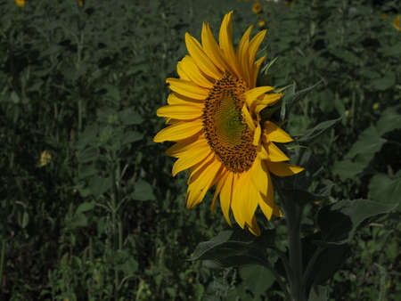 Sunflower blooming closeup in summer day
