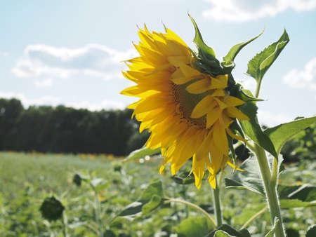 Close-up of sun flower against a blue sky 版權商用圖片