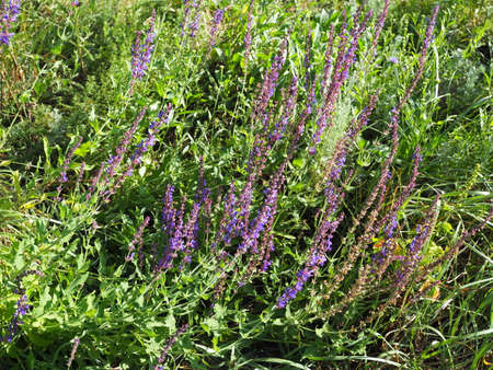 Field of clary sage in the early morning, before the sunrise. Provence, France 版權商用圖片