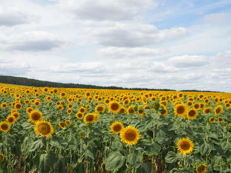 Sunflower field and cloudy sky in summer 版權商用圖片
