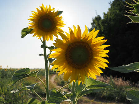 two bright colors sunflowers on backgrounds blue sky 版權商用圖片