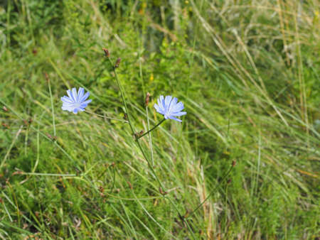 flower of chicory in the meadow waving by the wind. SUNNY DAY Archivio Fotografico