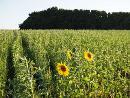 rows of young sunflowers in the field at sunset 版權商用圖片