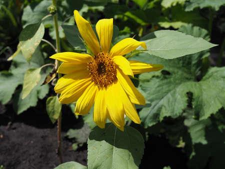 Selective focus little sunflower, Yellow flower in garden