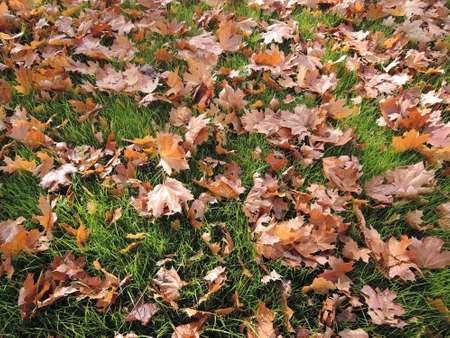 Scattered fallen maple leaves on a green grass abstract background