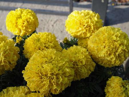 big beautiful marigold in city park in autumn Stock Photo