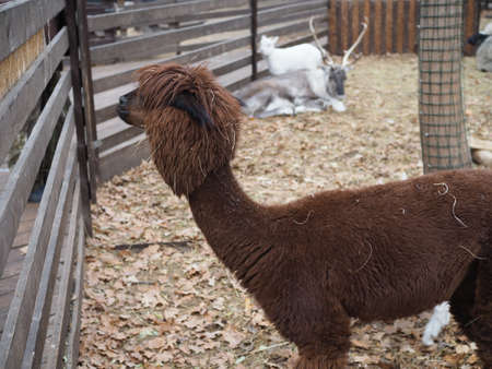 a portrait of a red-haired alpaca with a shaved bang, eyes are visible, looks into the camera, a pretty muzzle of a female,